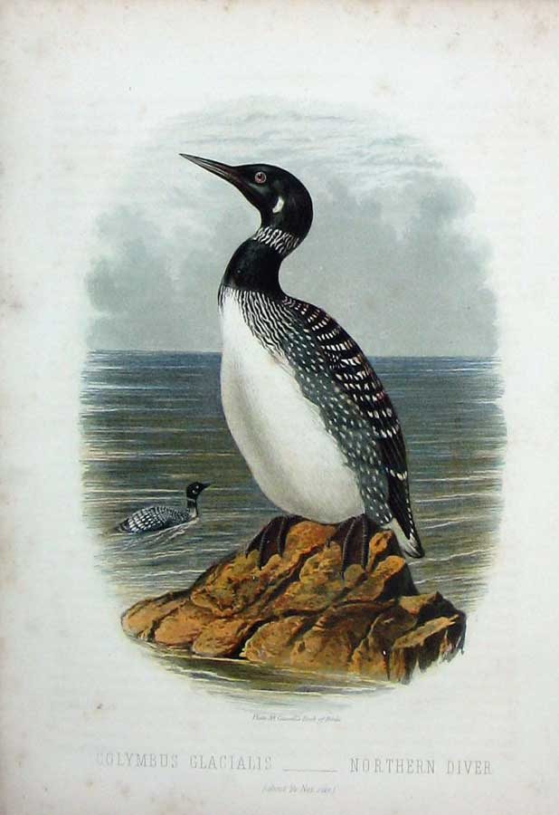 [Print Cassell'S Birds C1870 Northern Diver Bird Colymbus 171E125 Old Original]