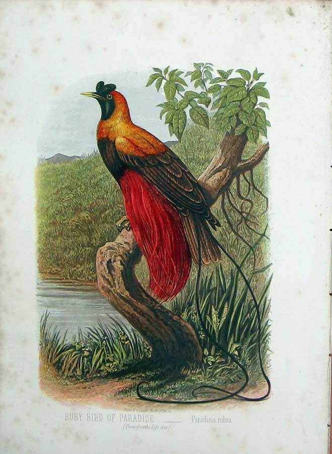 [Print Cassell'S Birds C1870 Ruby Bird Paradise Colour Rubra 180E125 Old Original]
