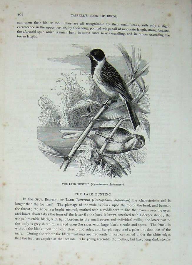 [Print Cassell'S Birds C1870 Reed Bunting Passerine Nature 271E125 Old Original]