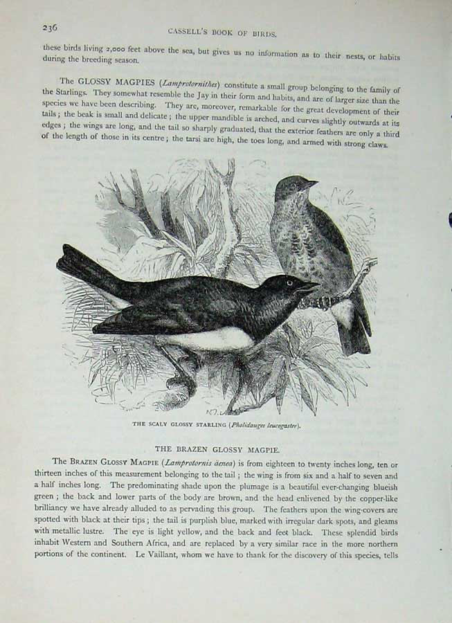 [Print Cassell'S Birds C1870 Raven Scaly Glossy Starling Raven 286E125 Old Original]