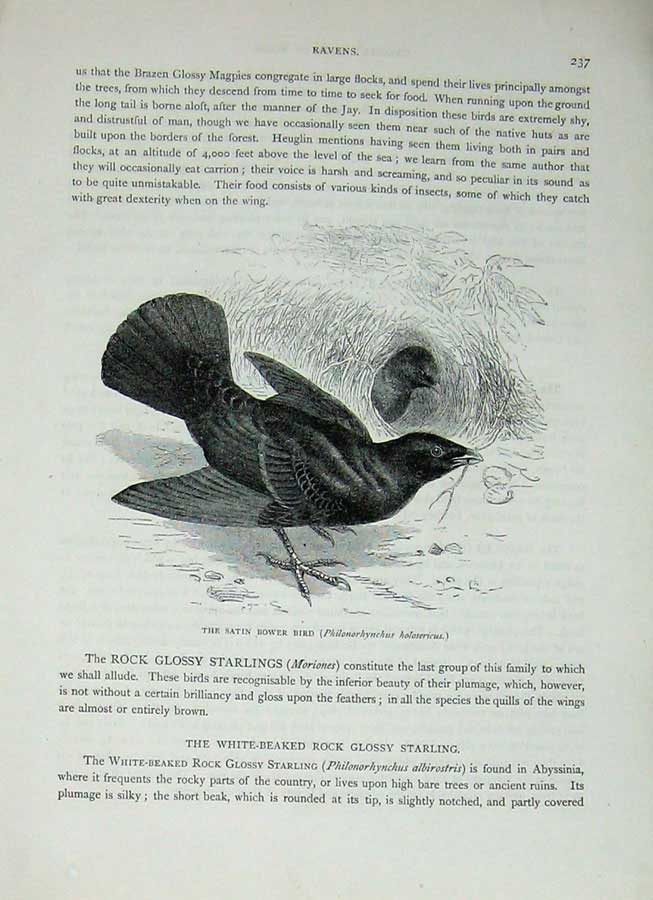 [Print Cassell'S Birds C1870 Satin Bower Bird Raven Nature 287E125 Old Original]