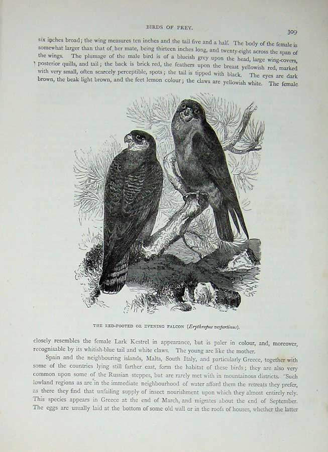 [Print Cassell'S Birds C1870 Red-Footed Evening Falcon Prey 311E125 Old Original]
