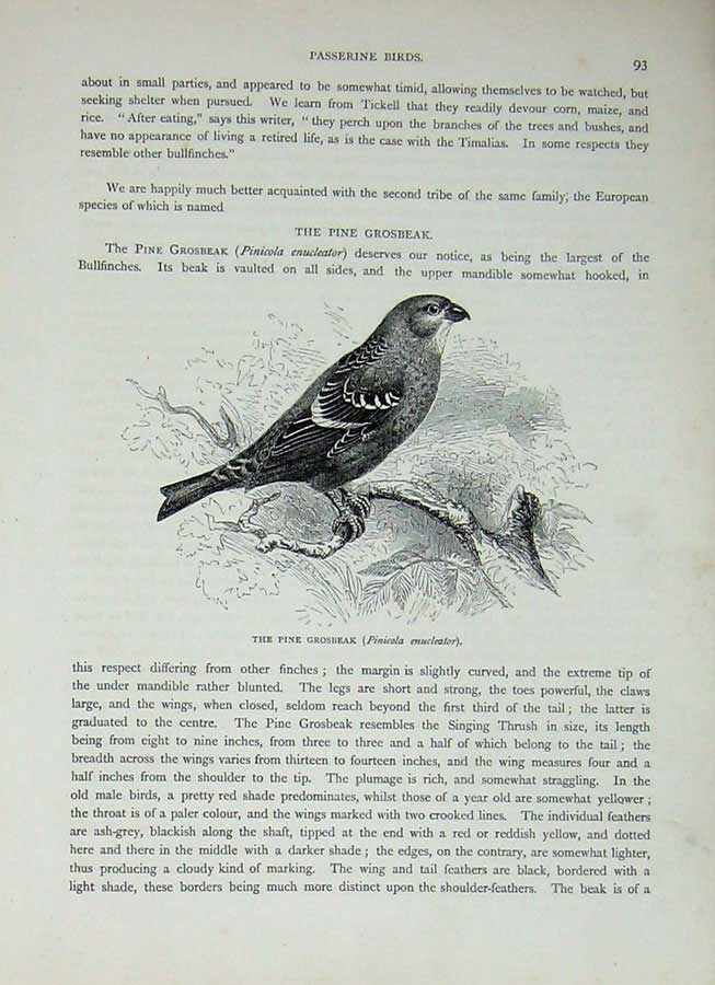 [Print Cassell'S Birds C1870 Passerine Pine Grosbeak Nature 383E125 Old Original]
