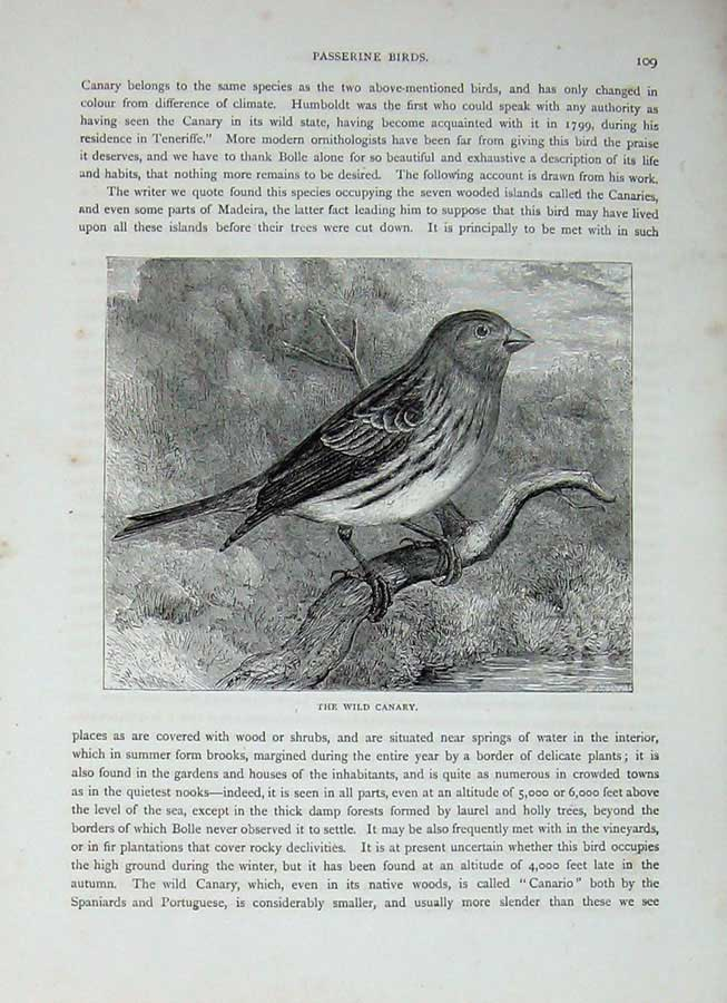 [Print Cassell'S Birds C1870 Passerine Wild Canary Bird Nature 387E125 Old Original]