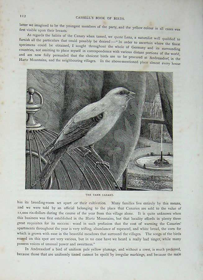 [Print Cassell'S Birds C1870 Passerine Tame Canary Bird Nature 388E125 Old Original]
