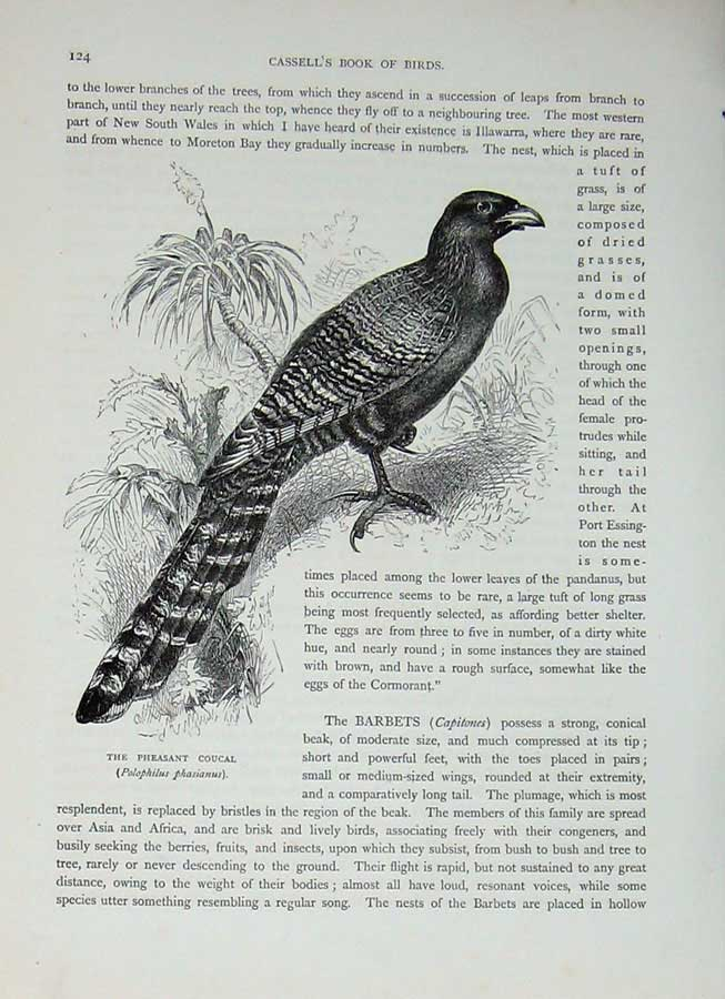 [Print Cassell'S Birds C1870 Pheasant Coucal Phasianus Bird 409E125 Old Original]
