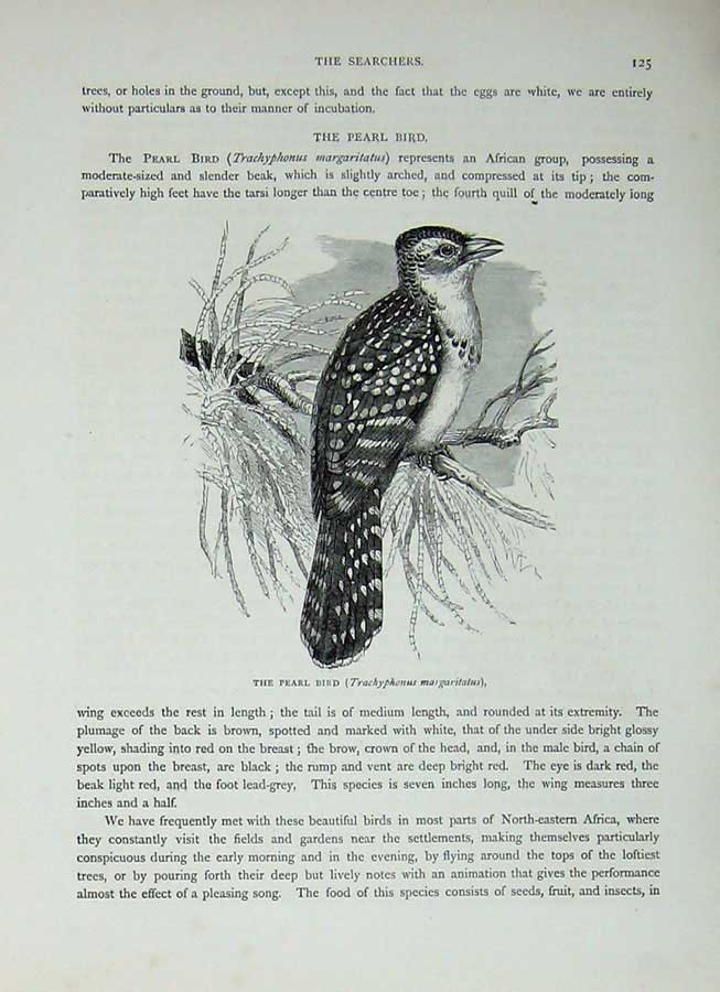 [Print Cassell'S Birds C1870 Pearl Bird Searcher Margaritatus 410E125 Old Original]
