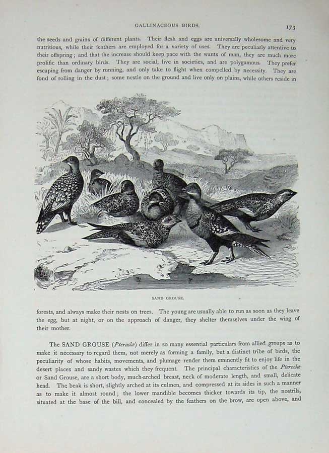 [Print Cassell'S Birds C1870 Sand Grouse Gallinaceous Bird 427E125 Old Original]