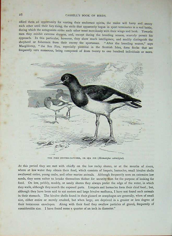 [Print Cassell'S Birds C1870 Pied Oyster-Catcher Sea-Pie Bird 471E125 Old Original]