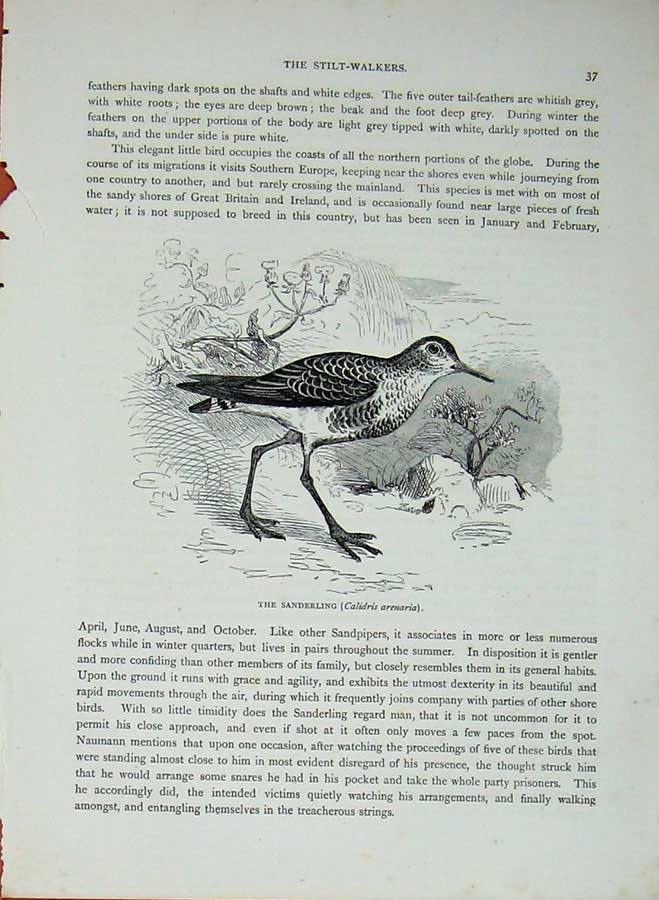 [Print Cassell'S Birds C1870 Sanderling Calidris Arenaria Bird 473E125 Old Original]