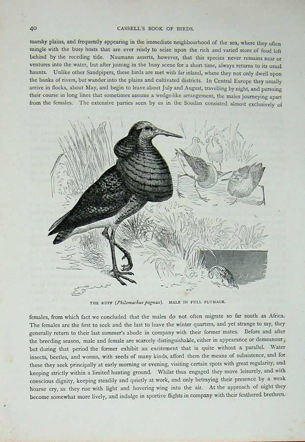 [Print Cassell'S Birds C1870 Ruff Male Full Plumage Pugnax 474E125 Old Original]