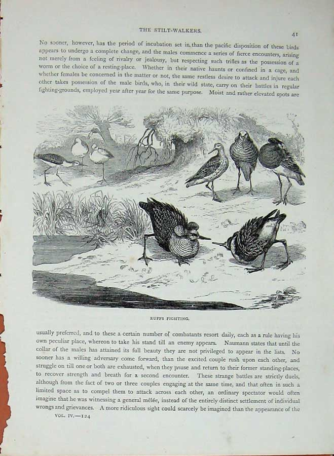 [Print Cassell'S Birds C1870 Ruffs Fighting Stilt-Walkers Bird 475E125 Old Original]