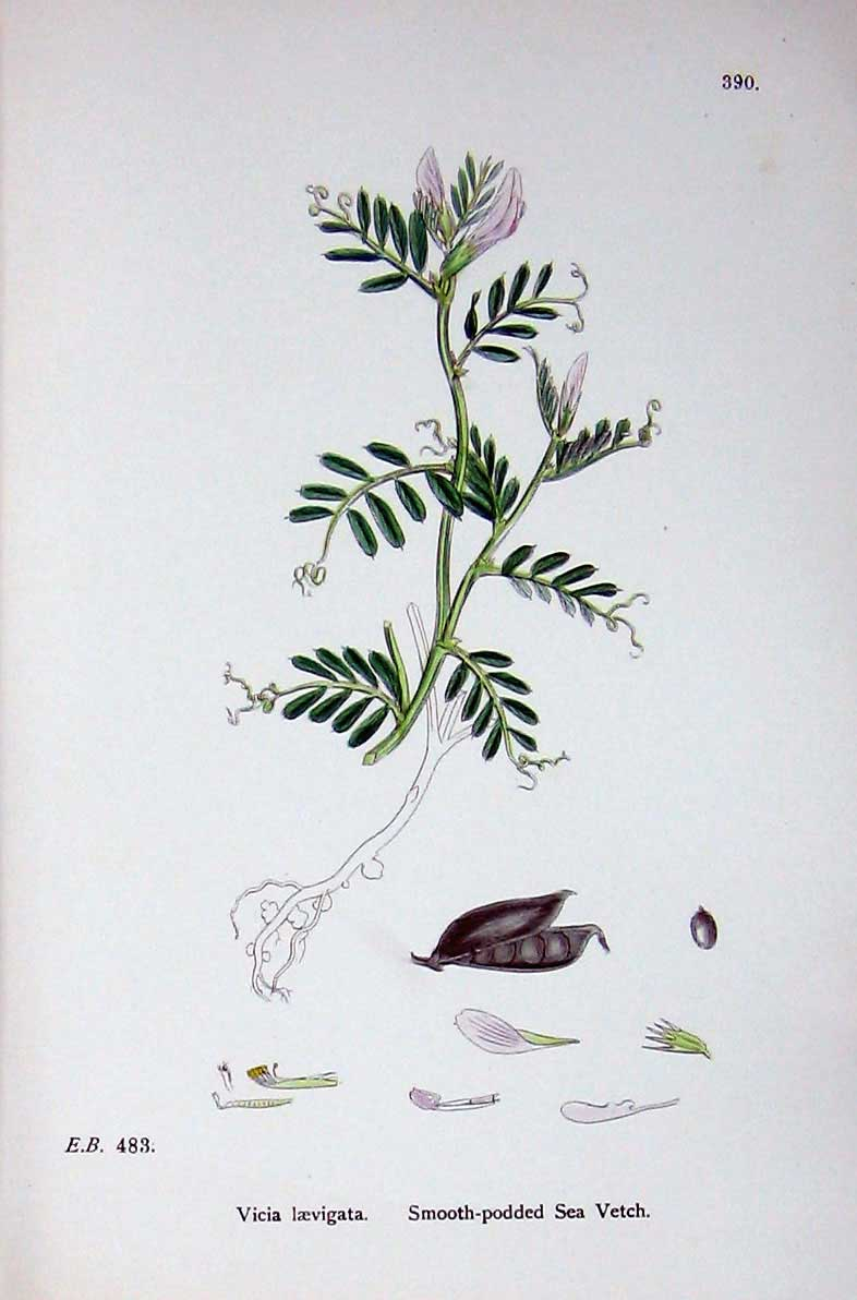 Print Botany Plants C1902 Smooth Podded Sea Vetch Vicia 307E146 Old Original