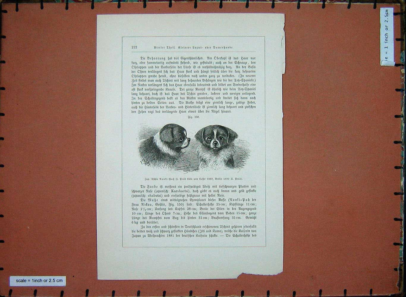 [Print Animals 1910 Dogs King Charles Spaniels Canine 194E199 Old Original]