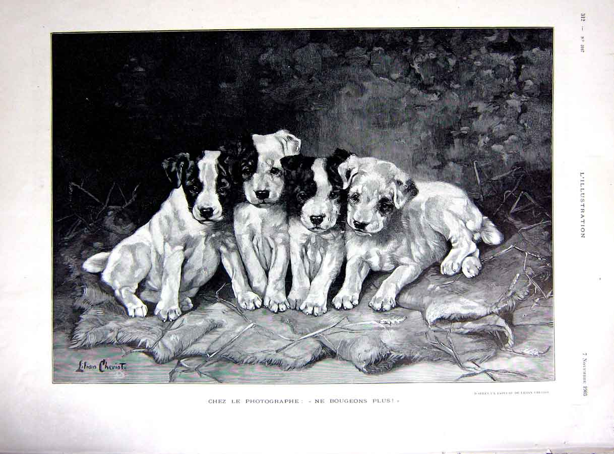 [Print Photograph Dogs Puppies Puppy Cheviot French 1903 166E251 Old Original]