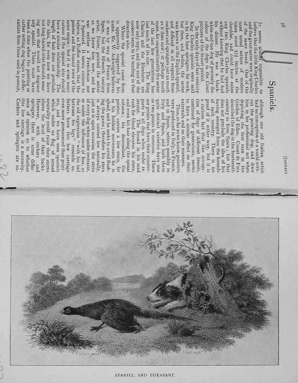 [Print 1903 Hunting Country Spaniel Dog Pheasant Bird Baily'S 1082F117 Old Original]