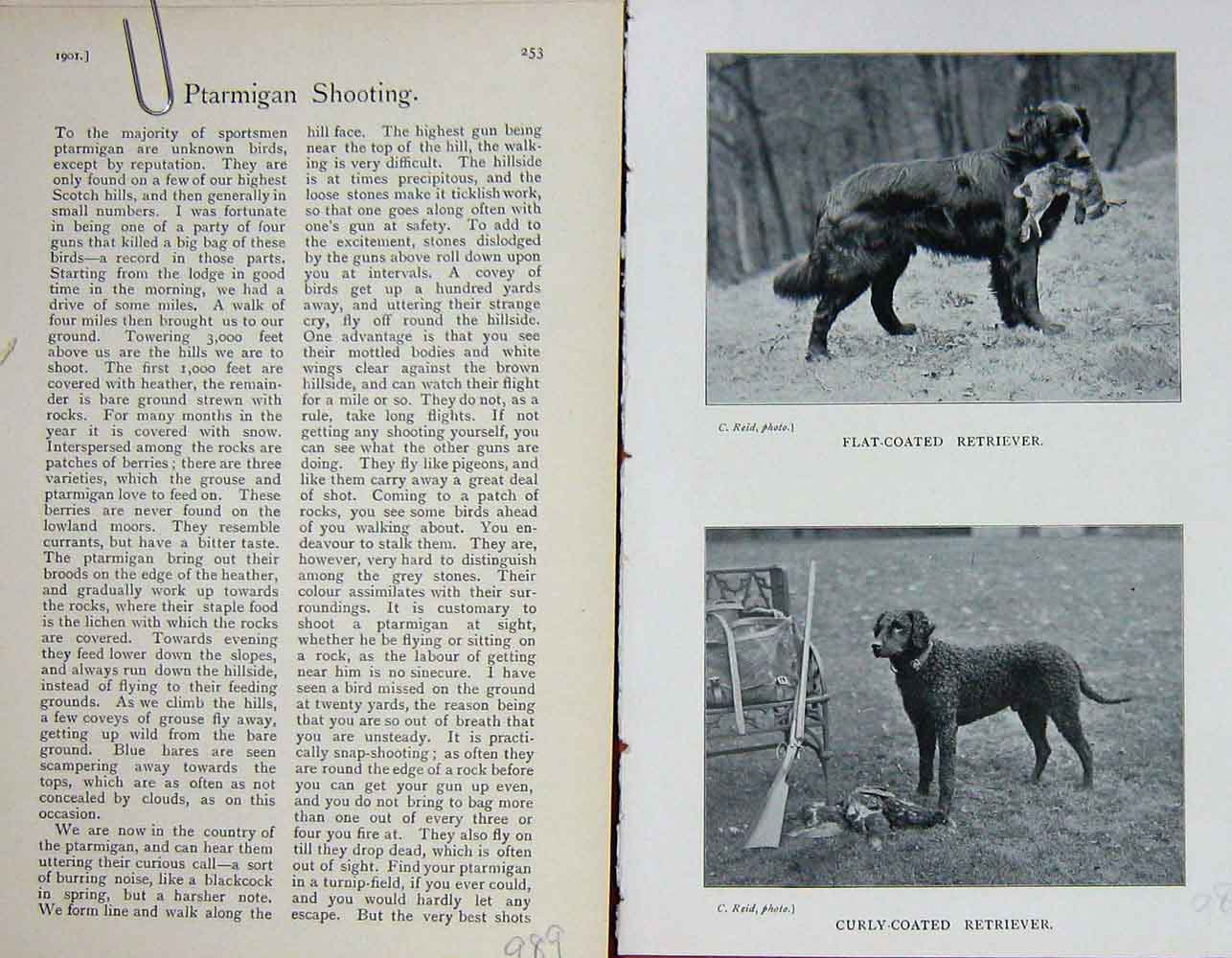 [Print 1901 Dogs Flat Coated Retriever Curly-Coated Hunting 989F117 Old Original]