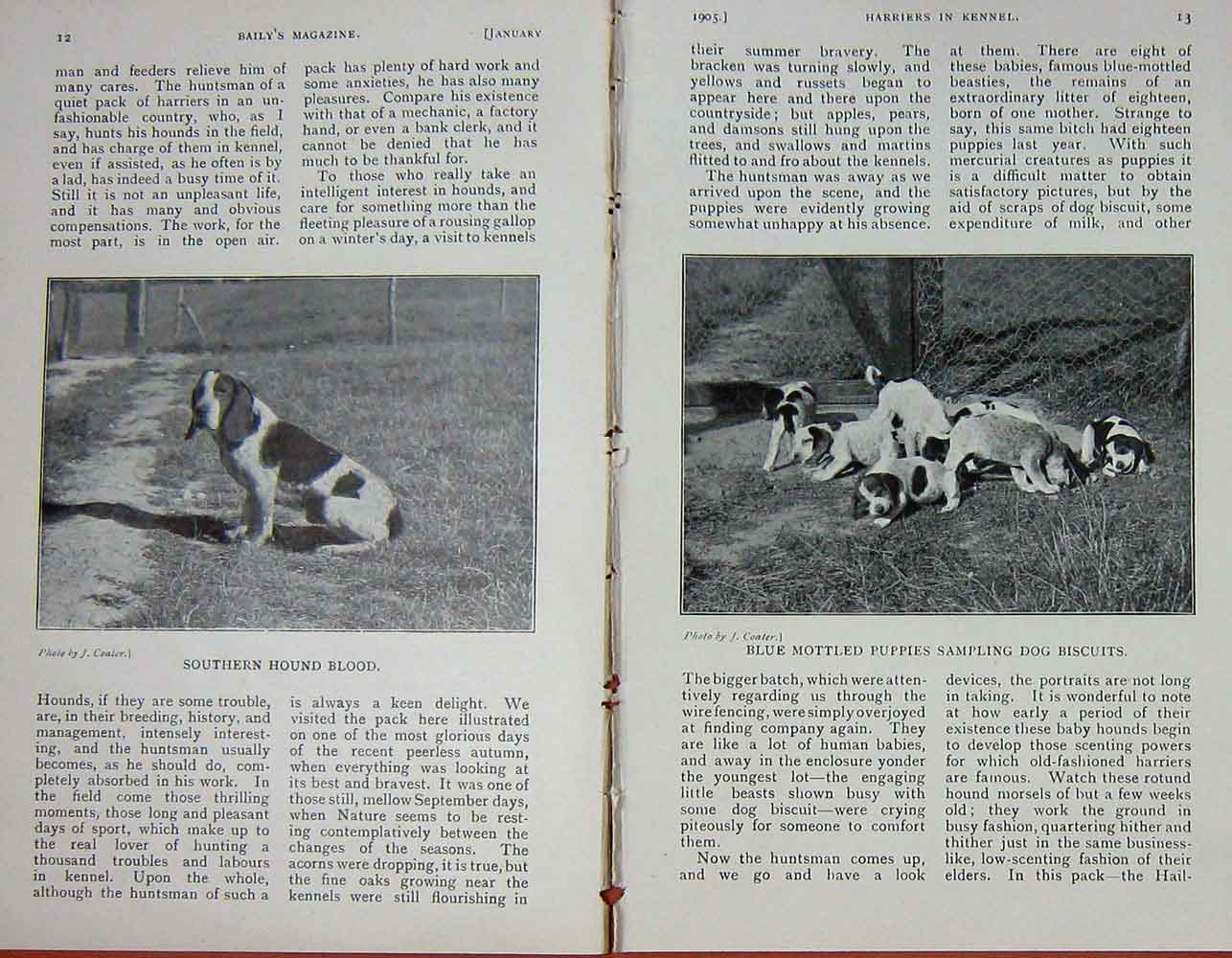[Print 1905 Photograph Harriers Dogs Hounds Hunting 1208F119 Old Original]