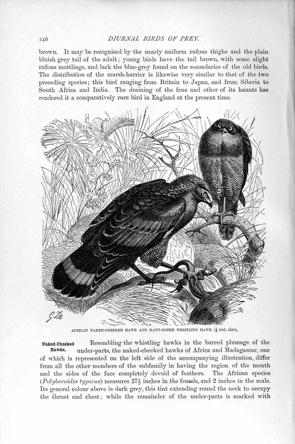 [Print Natural History 1895 African Hawk Whistling Bird Prey 246F164 Old Original]