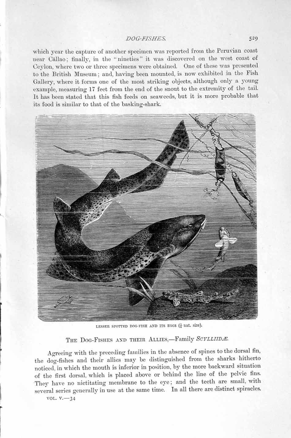 [Print Natural History 1896 Lesser Spotted Dog Fish Eggs 529F165 Old Original]