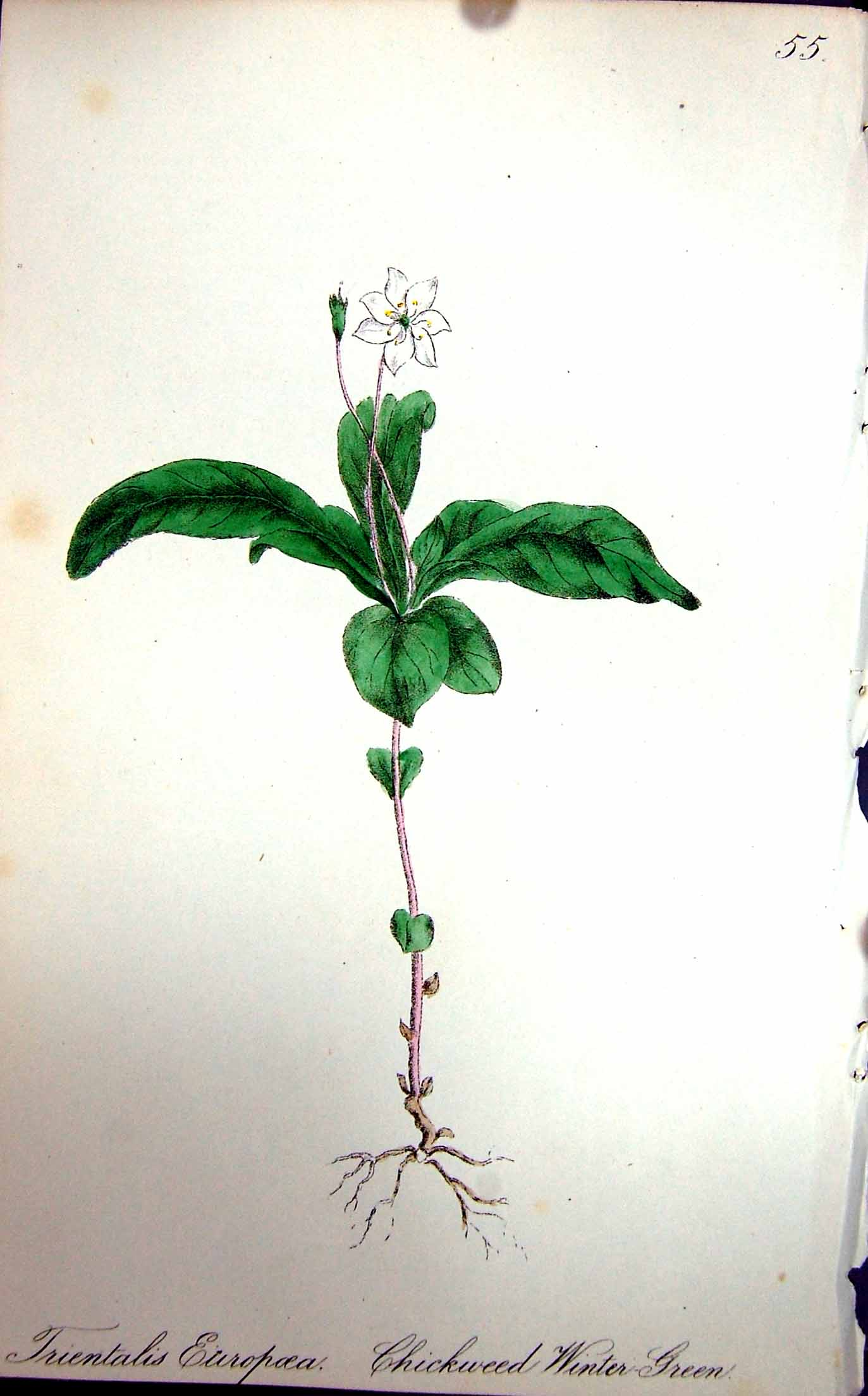 Print Flowers C1880 Colour Plate Flora Chickweed Winter Green 133F173 Old Original