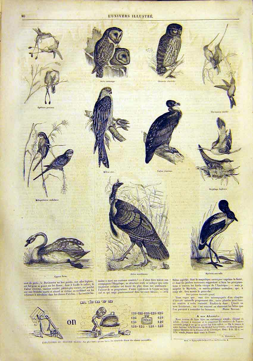 Print Birds Owl Vulture Swan Turkey French 1859 80Lun0 Old Original