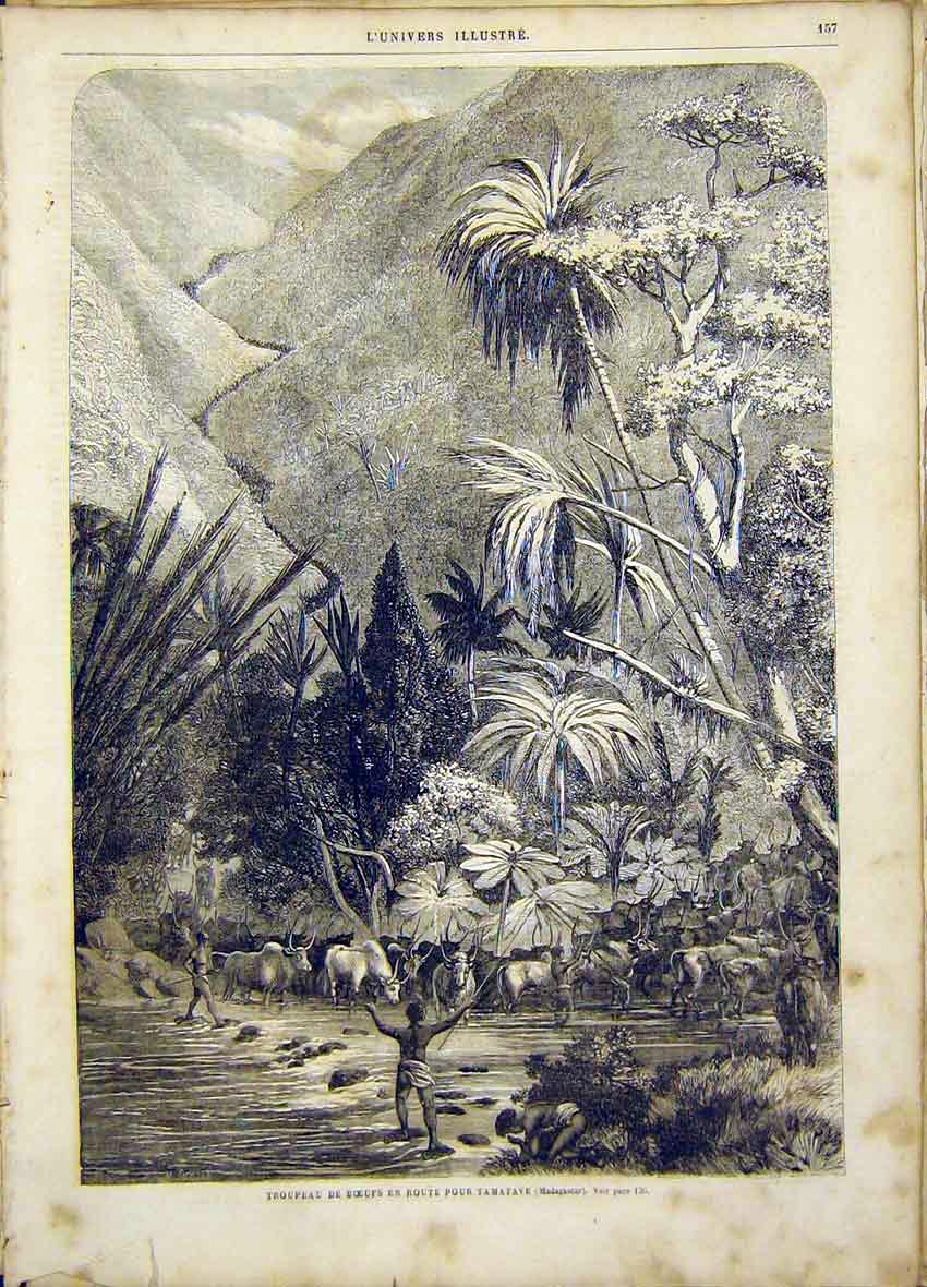 Print Beef Cattle Tamatave Troops French 1865 57Lun0 Old Original
