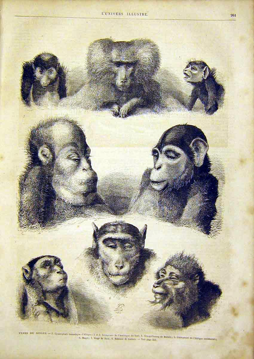 Print Monkey Animal Chimpanzee Baboon French 1866 61Lun0 Old Original