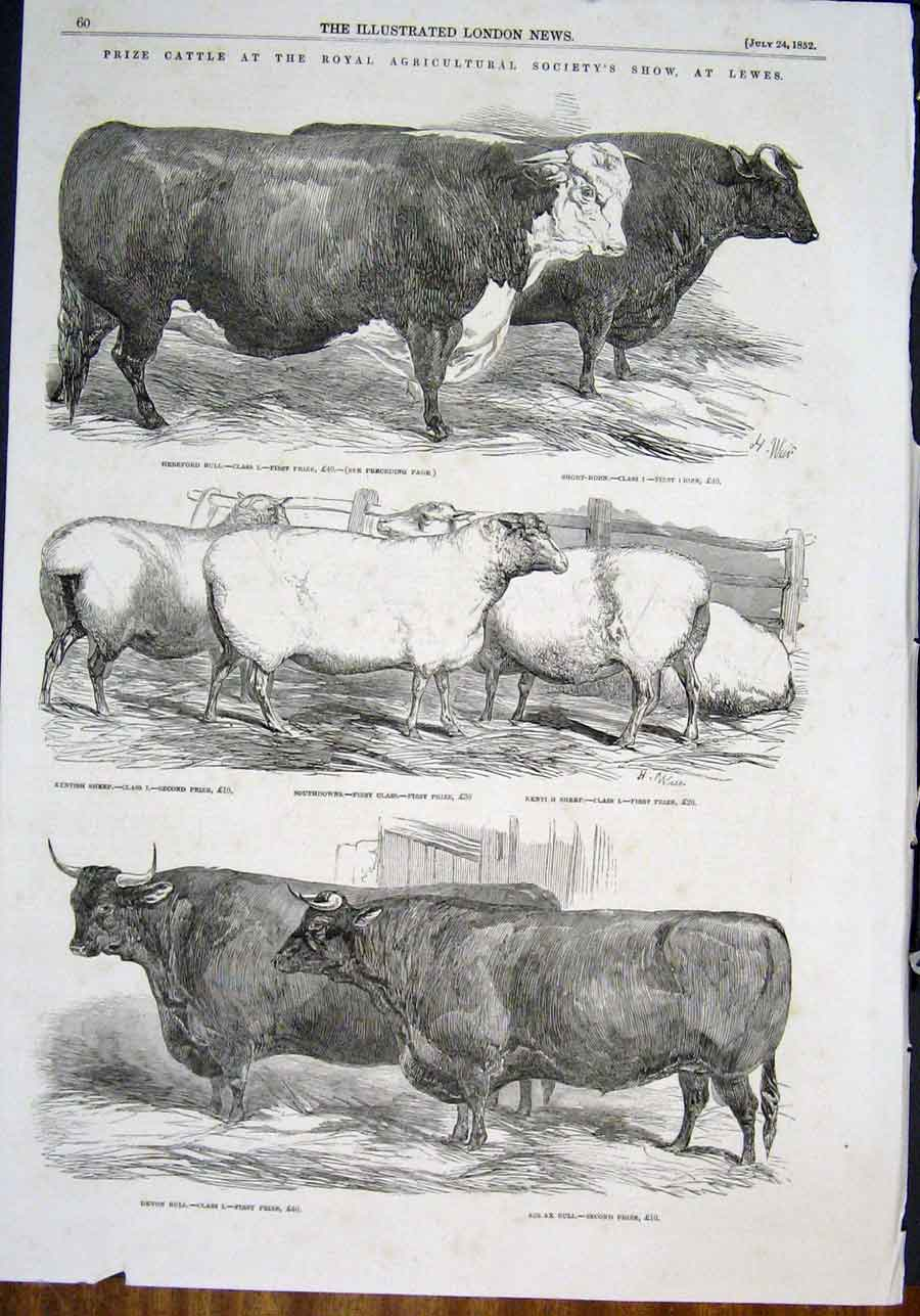 Print Cattle Royal Agricultural Show Lewes Bull Sheep 1852 60Maa0 Old Original