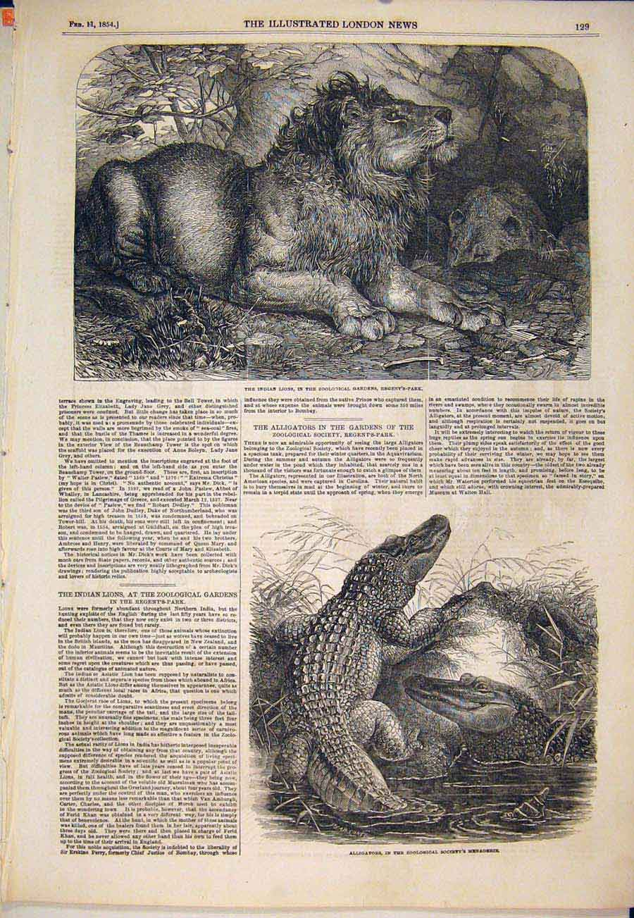 Print Lion Lions Indian Regent'S Park Zoo Alligators 1854 29Maa0 Old Original
