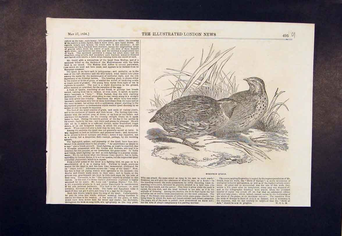 Print European Quail Birds Wild Bird Nature Fowl 1854 95Umaa0 Old Original
