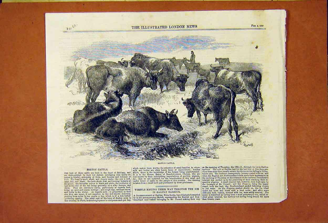 Print Breton Cattle Brittany France 1859 40Umaa0 Old Original