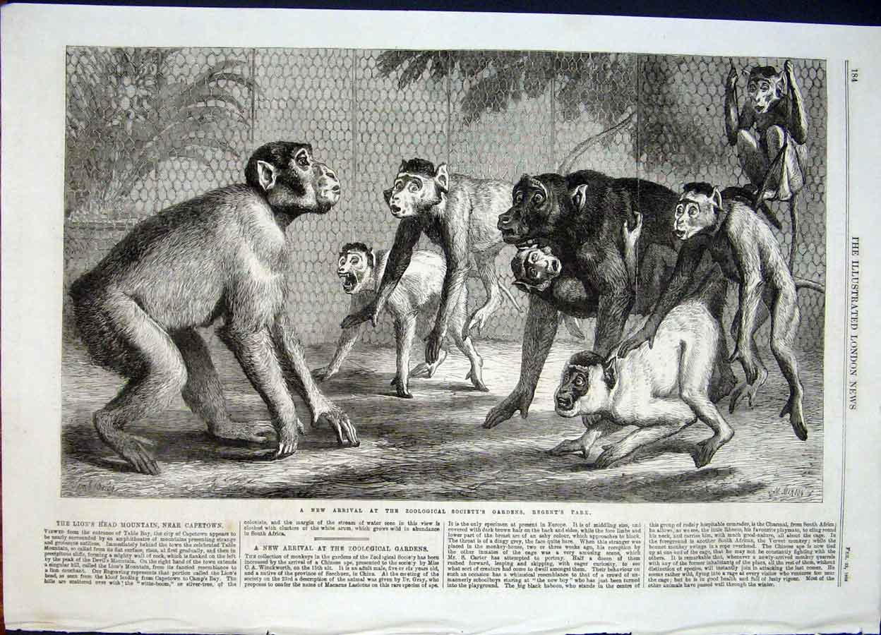 Print Monkeys Monkey Zoo Regent'S Park London Chinese Ape 84Maa0 Old Original