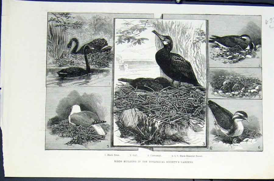 Print Birds Building Zoo London Bird Cormorant Swan Peewit 33Lmaa0 Old Original