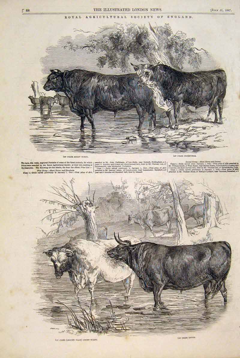 Print Royal Agricultural Society Cattle Hereford Short Horns 68Maa1 Old Original