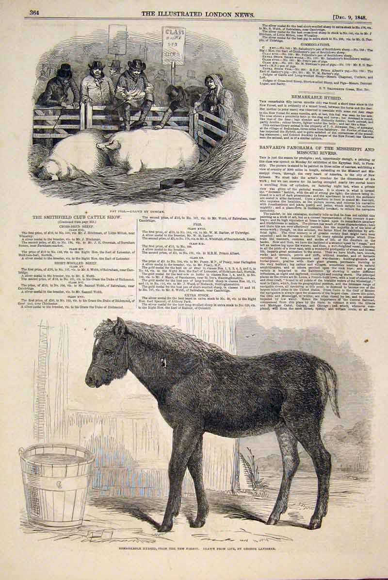 Print Smithfield Cattle Club Show Pigs Duncan Pony Landseer 64Maa1 Old Original