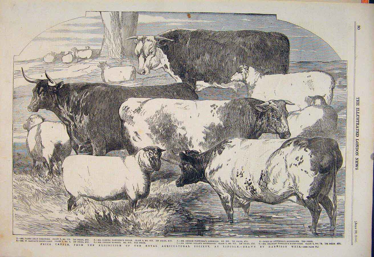Print Cattle Royal Agricultural Society Lincoln Sheep Weir 80Maa1 Old Original