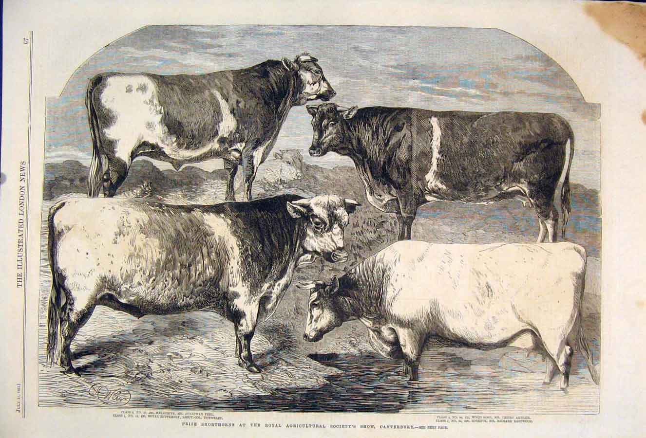 Print Conterbury Royal Agricultural Show Cattle Cow 1860 67Maa1 Old Original