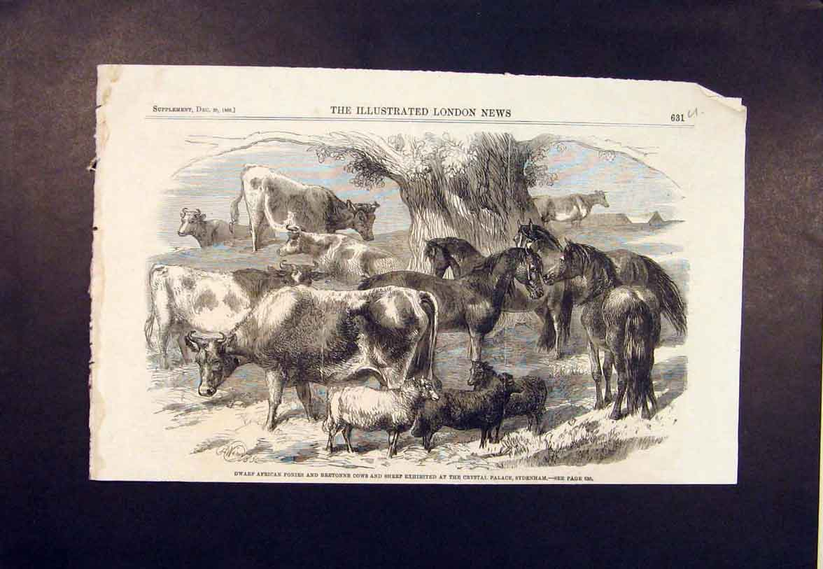 Print Dwarf African Ponies Cows Sheep Crystal Palace Pony Cow 31Umaa1 Old Original