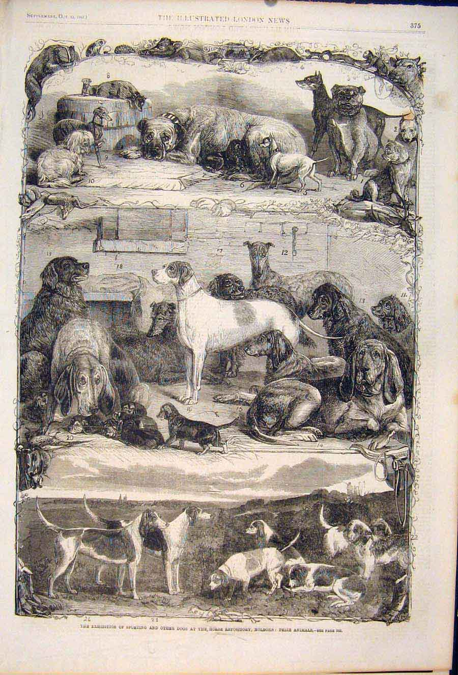 Print Dog Dogs Hounds Sporting Holborn Animals Exhibition 75Maa1 Old Original