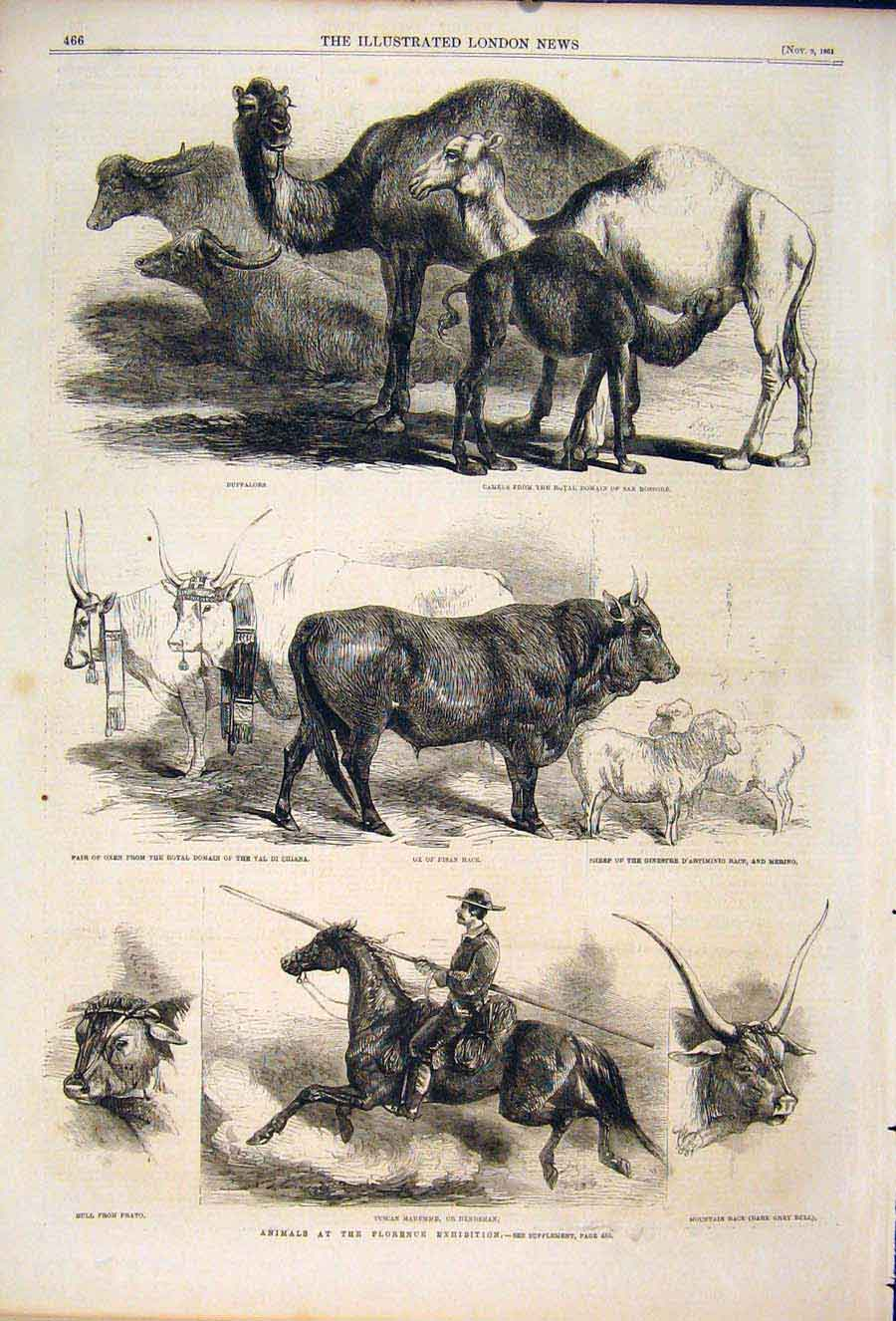 Print Animals Florence Exhibition Italy Camels Cattle Horse 66Maa1 Old Original