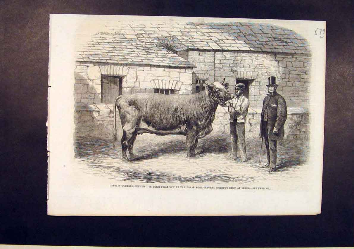Print Captain Gunter Duchess Cow Royal Agricultural Leeds 79Lmaa1 Old Original