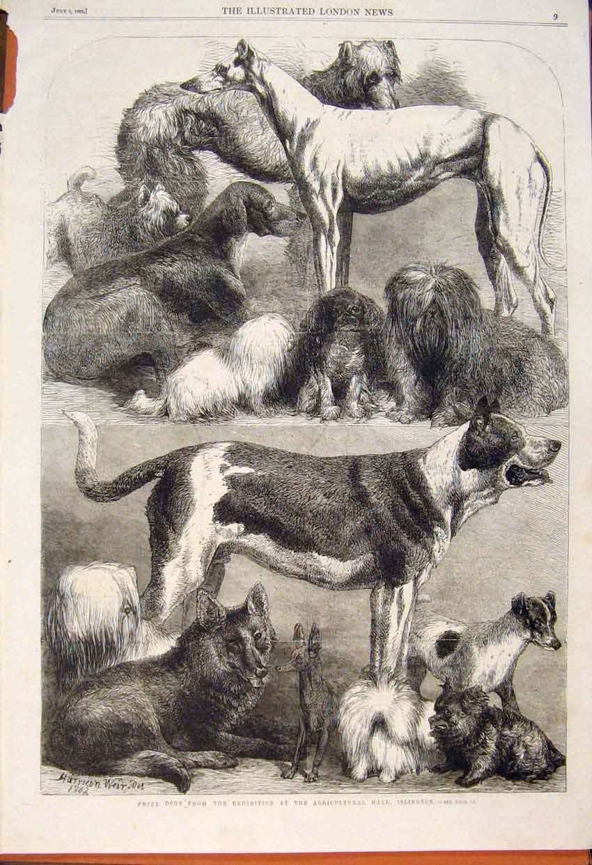 Print Islington Prize Dogs Agricultural Hall Exhibition 1862 09Maa1 Old Original