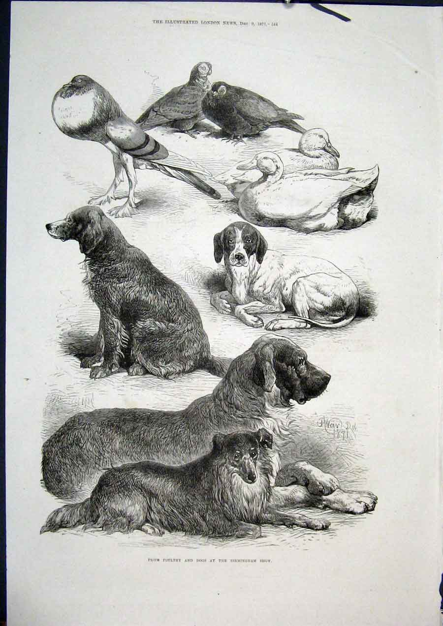 Print Birmingham Show Dogs Poultry Birds Fine Art 1871 44Maa1 Old Original