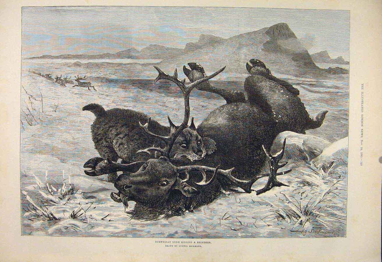 Print Norwegian Lynx Reindeer Norway Beckman Fine Art 1885 10Maa1 Old Original
