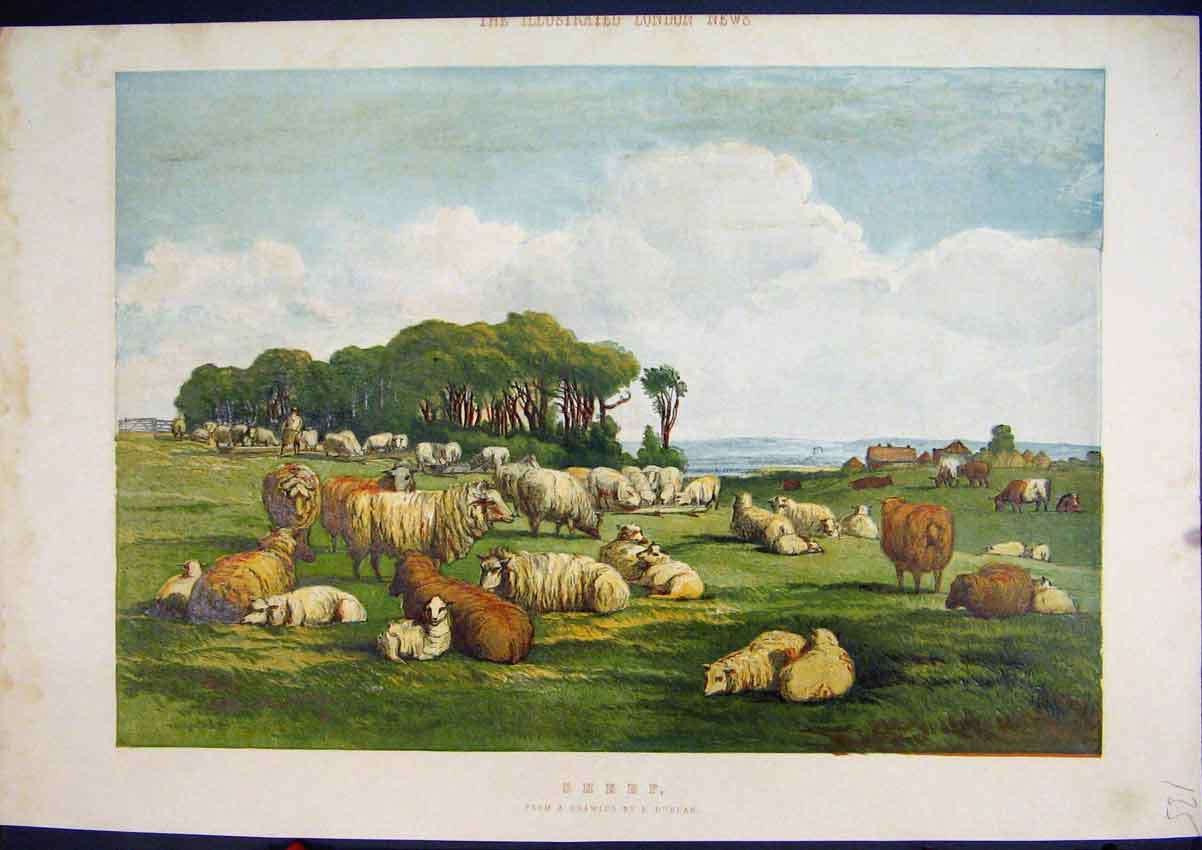 Print Colour C1850 Sheep Lambs Field Country Scene 35Mar1 Old Original