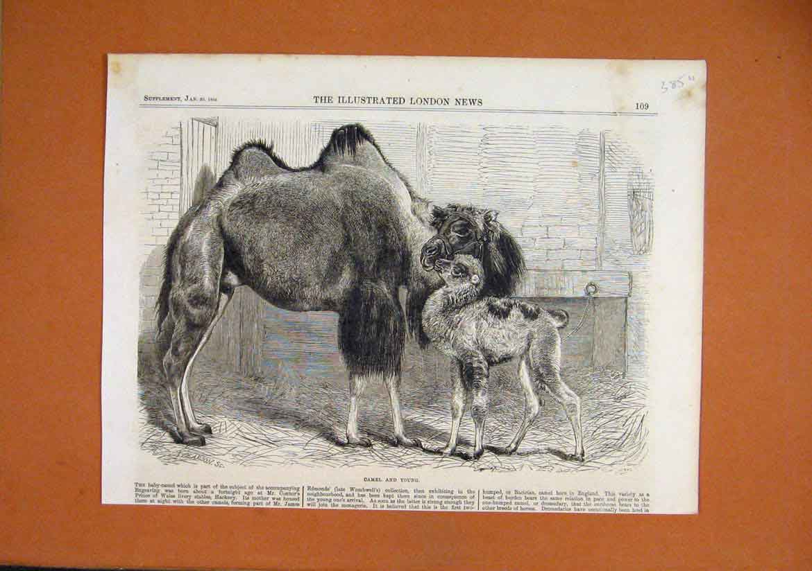 Print 1864 Camel Baby Prince Wales Livery Stables Connor 85Umar1 Old Original