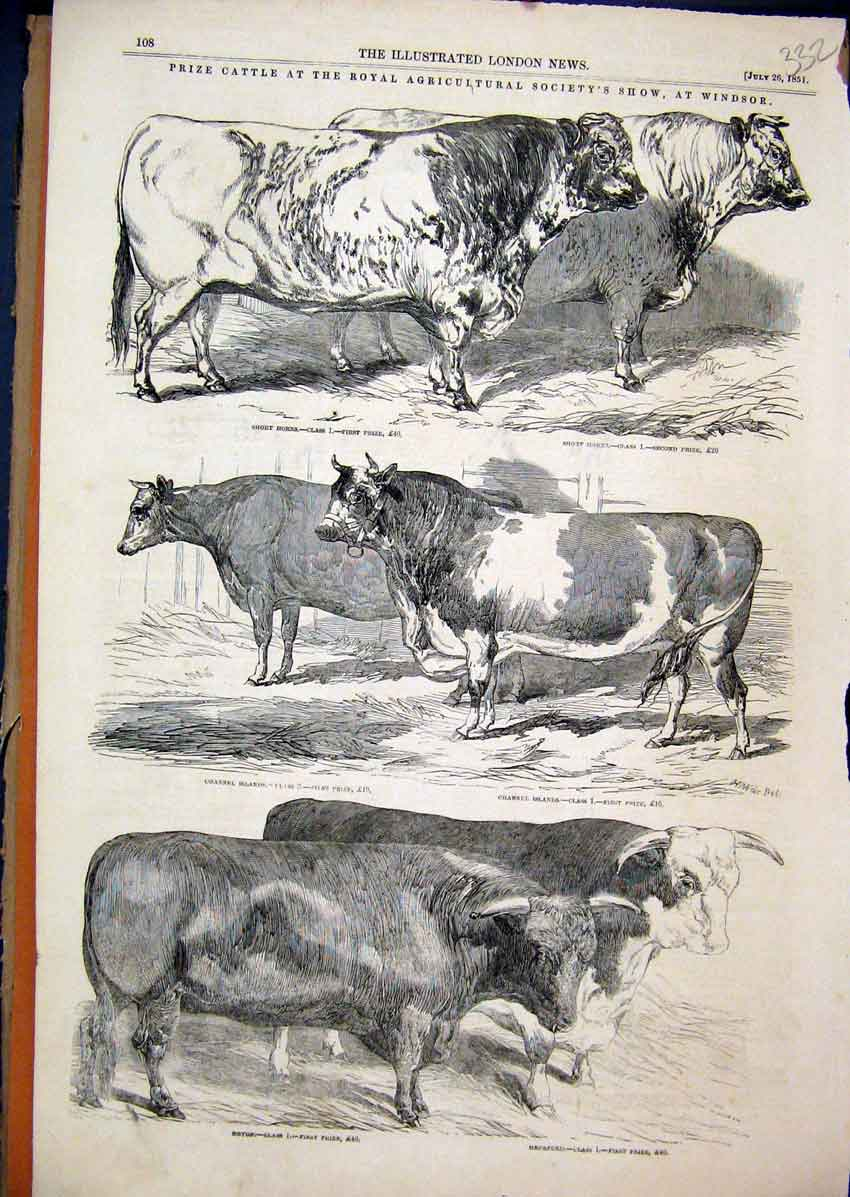 Print 1851 Prize Cattle Agricultural Show Windsor Animals 32Mar1 Old Original