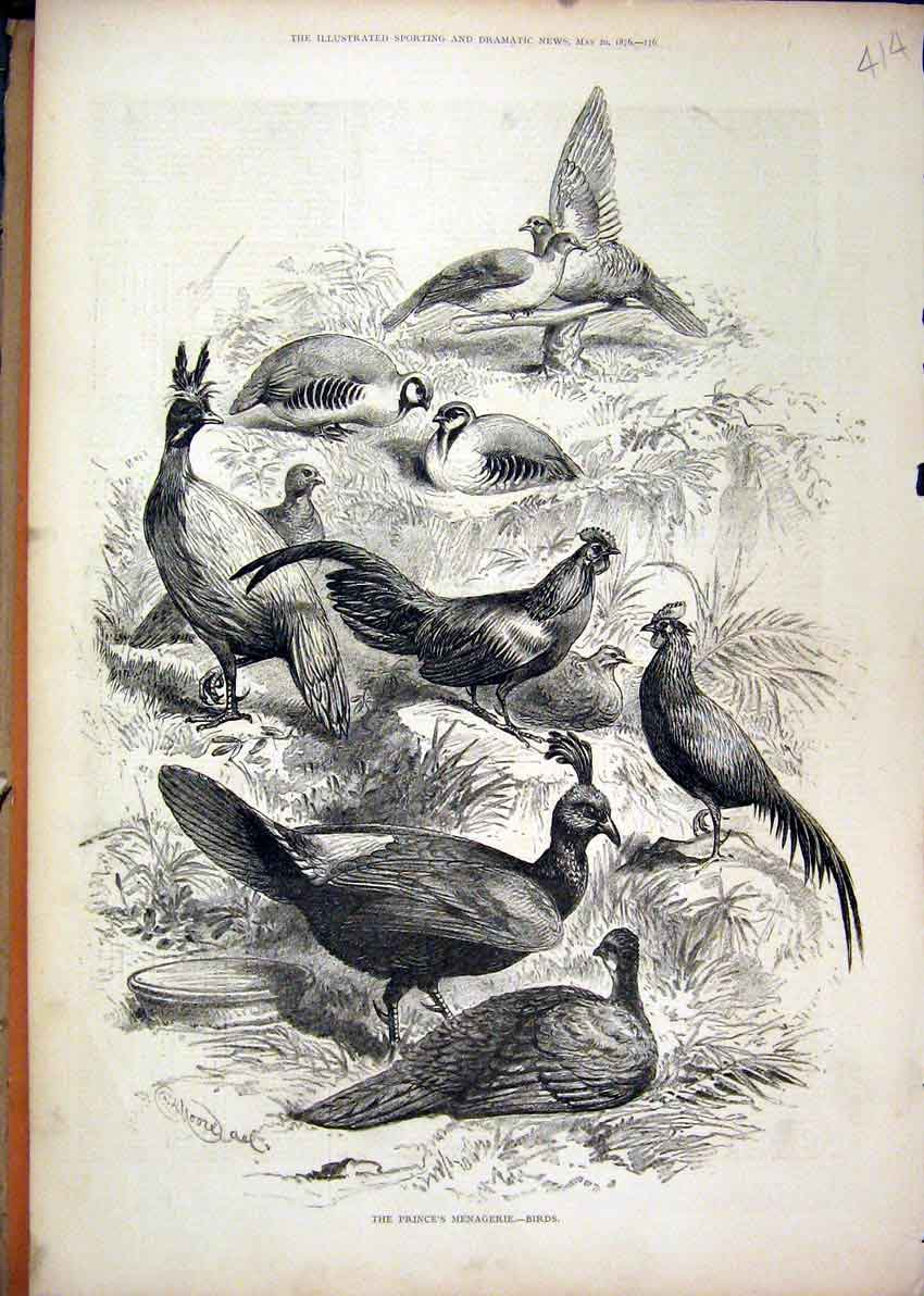 Print 1876 Prince Menagerie Birds Pigeon Chicken 14Mar1 Old Original