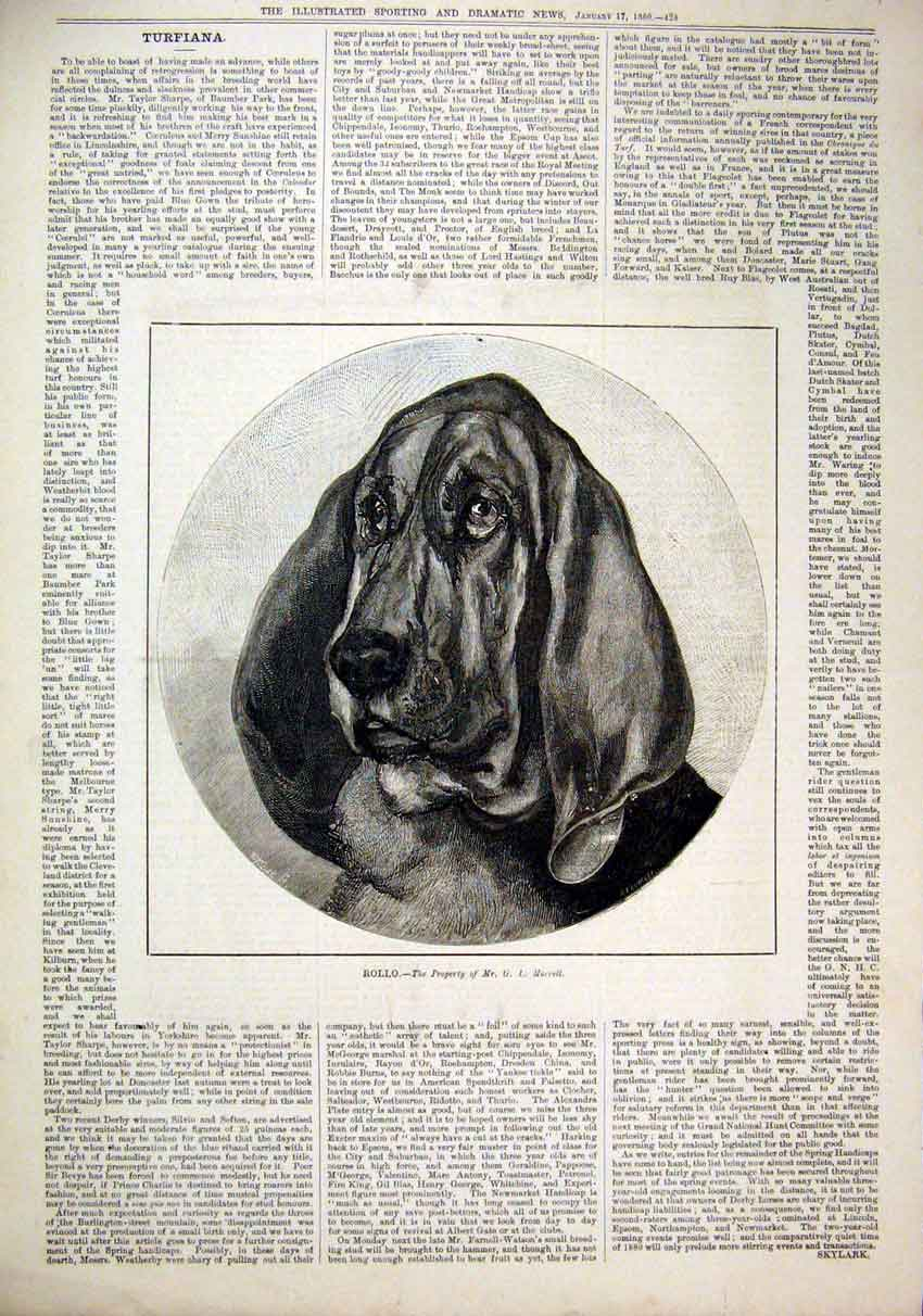 Print 1880 Portrait Dog Rollo Beagle Morrell 41Mar1 Old Original